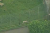 O ingrijitoare de la gradina zoologica Hamerton Wildlife Park din Marea Britanie a fost ucisa de un tigru